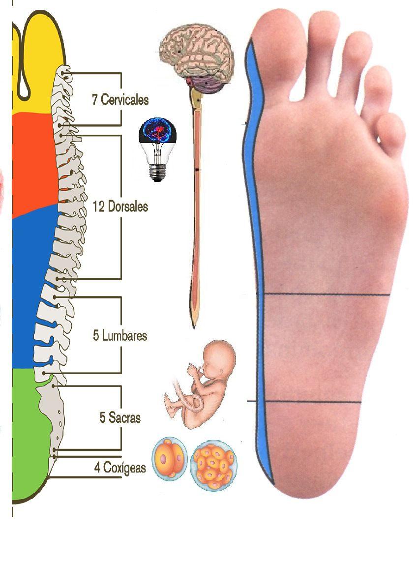 reflexologia podal dolor de espalda columna